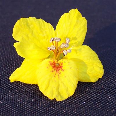 Palo verde blossom GD