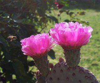 Prickly pear and bee 040909