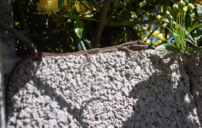 Lounging_lizard_copy