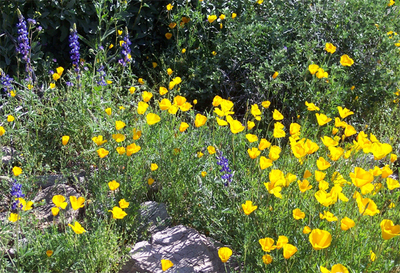 Poppies_with_lupine_2008_2