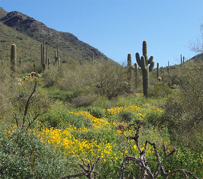 Saguaro_and_poppies_2