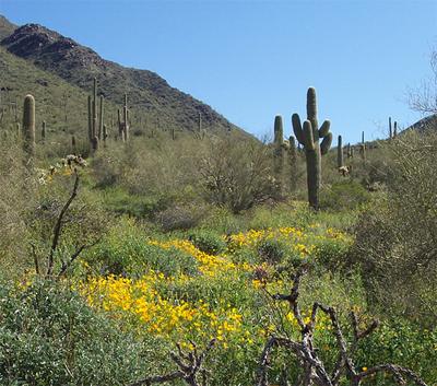Saguaro_and_poppies_2
