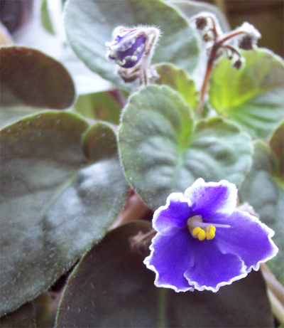 Blue_african_violet