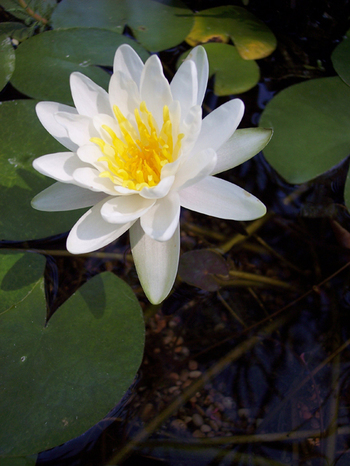 The_white_lily_two