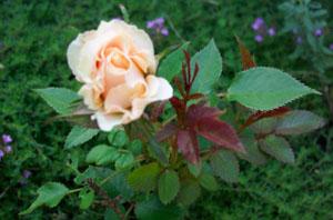 little_dainty_rose