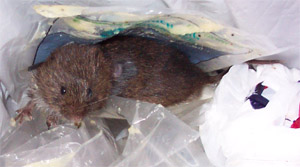 meadow_vole_1
