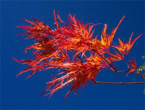 jap_maple_flames_of_fall.jpg
