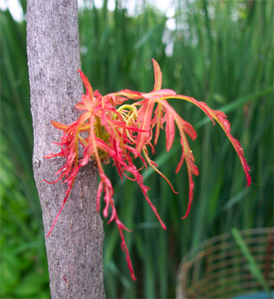 Acer_palmatum_viridis_growth