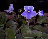 African_violet_blue_1