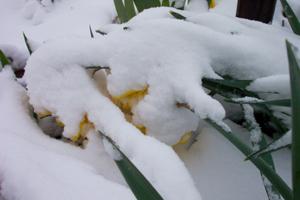 Buried_daffodils