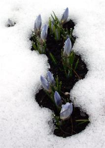 Crocus_in_snow_2