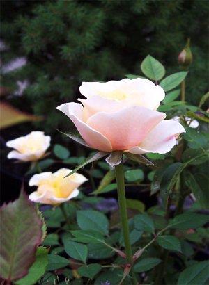 Late_roses_looking_lovely_1