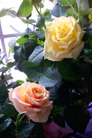 Mini_roses_21406