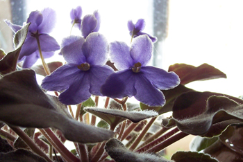 Morning_light_thru_african_violets