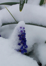 Muscari_and_daffodil_foliage
