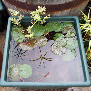 Nymphea_attraction_in_water_pot