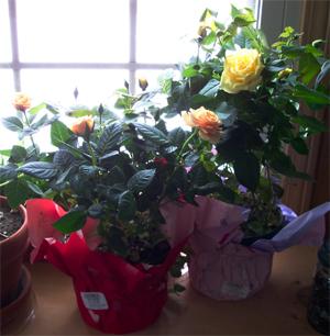 Vd_mini_roses_1