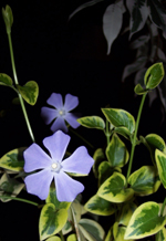 Vinca_minor_blue_1