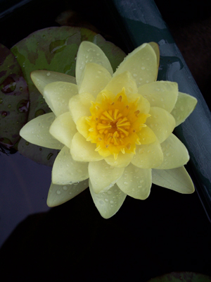 Waterlily_one